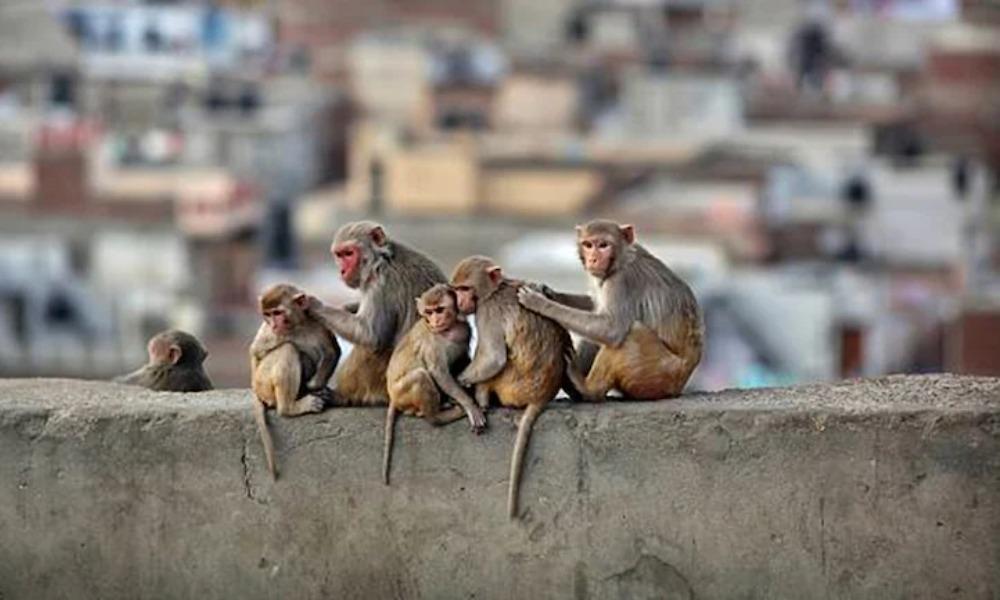 Monkey B virus - Telugu Dunia.in